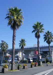 ワシントン椰子のある風景-1.jpg